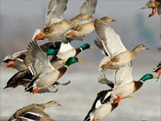 Waterfowl Migration Map